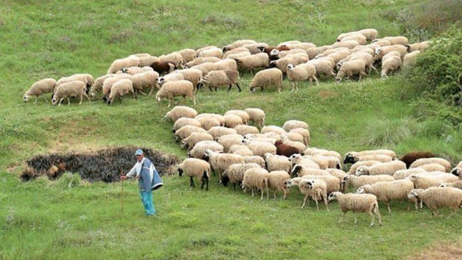 Φωνές κτηνοτρόφων: Τα ζώα υποσιτίζονται λόγω έλλειψης ζωοτροφών